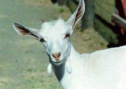54021_goat